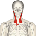 120px-Sternomastoid_muscle_frontal2.png